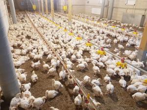 4 savaičių mėsiniai viščiukai