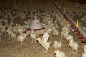 Mėsiniai viščiukai (Pakerų ūkis)
